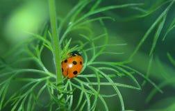 瓢虫或瓢虫在Larkspur植物 库存照片