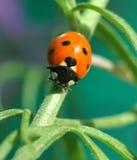 瓢虫或瓢虫在Larkspur植物 库存图片