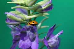 瓢虫或瓢虫在Larkspur花 免版税库存照片