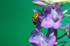 瓢虫或瓢虫在Larkspur花 库存照片