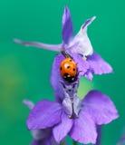 瓢虫或瓢虫在Larkspur花 免版税库存图片