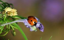 瓢虫或瓢虫在Larkspur花 图库摄影