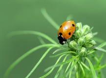瓢虫或瓢虫在Larkspur芽 免版税库存照片