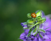 瓢虫或瓢虫在Larkspur芽 免版税图库摄影
