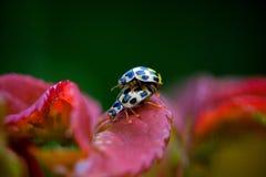 瓢虫有性在春天 免版税库存照片