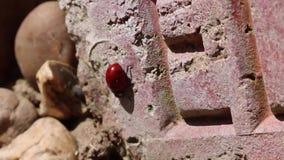 瓢虫瓢虫臭虫昆虫墙壁 股票录像