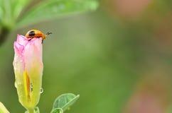 瓢虫生活  免版税库存图片