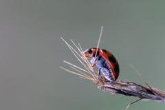 瓢虫生活 免版税库存照片