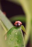瓢虫用水下降坐叶子 免版税库存照片