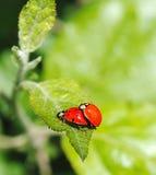 瓢虫联接 免版税图库摄影