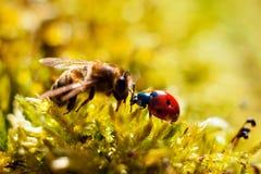 瓢虫,蜂 免版税库存图片