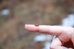 瓢虫 免版税图库摄影