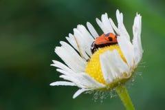 瓢虫 图库摄影