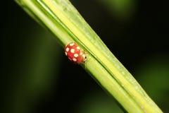 瓢虫(calvia decemguttata) 库存照片