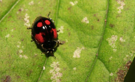 瓢虫(exochomus quadripustulatus) 免版税库存图片