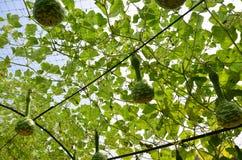 瓢,匏或Lagenaria siceraria立场 免版税库存照片