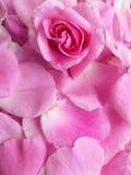 瓣淡粉红色背景 库存照片