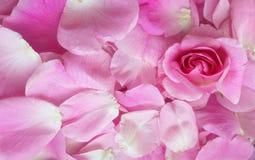 瓣淡粉红色,天华伦泰,背景 库存图片
