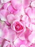 瓣淡粉红色,生日,背景 库存图片