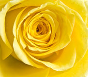 瓣玫瑰黄色 库存照片