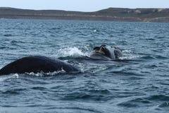 瓦尔德斯半岛-阿根廷 鲸鱼 免版税库存照片