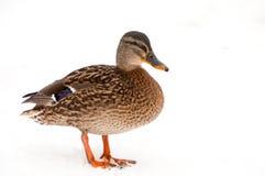 瓦尔特在白色背景隔绝的mallart鸭子 免版税库存照片