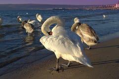 瓦尔纳海滩同步的天鹅 免版税图库摄影