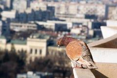 瓦尔纳,保加利亚一般高看法  在前景的鸠 库存照片