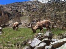 瓦尔D'Aosta高地山羊  图库摄影