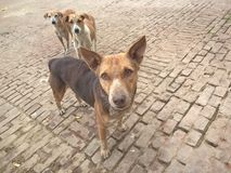 瓦腊纳西Desi狗  免版税库存图片