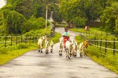 瓦赛,马哈拉施特拉,印度- 2018年9月22日:一名未认出的印地安妇女带领她的山羊2018年9月22日的牧场地 图库摄影