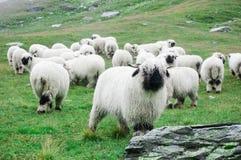 瓦雷兹Blacknose绵羊在策马特,瑞士成群 免版税图库摄影