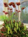瓶子草purpurea 食虫的动物 免版税库存图片