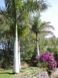瓶棕榈树在植物园里 免版税库存照片