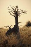 瓶结构树(pachypodium lealii) 库存图片