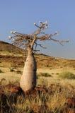 瓶结构树(pachypodium lealii) 免版税库存照片