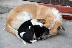 瓷尾随她的母亲pengzhou小狗 图库摄影