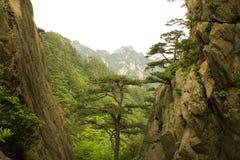 瓷山松结构树 库存照片