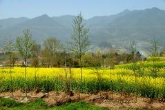 瓷开花横向pengzhou油菜籽黄色 免版税库存图片