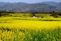 瓷开花pengzhou油菜籽黄色 免版税库存图片