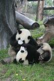 瓷熊猫 库存图片