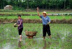 瓷种植米的农夫pengzhou 免版税库存照片
