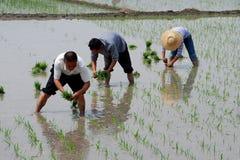 瓷种植米的农夫pengzhou 免版税图库摄影