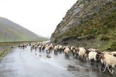瓷草原藏语 图库摄影