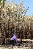甘蔗农场、甘蔗种植园烧伤和工作者的,甘蔗种植园工作者人种田,工作者切甘蔗 库存照片