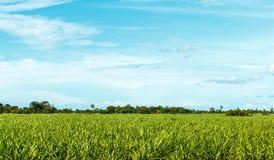 甘蔗农场 免版税图库摄影