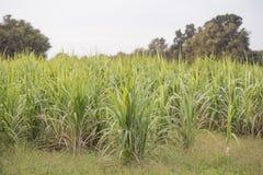 甘蔗和米领域; 一起混杂的庄稼 免版税图库摄影