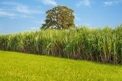 甘蔗和米 库存图片