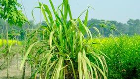 甘蔗在宽看法方式下 免版税图库摄影