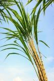 甘蔗在种植园在泰国 库存图片